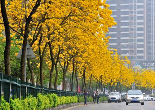 发展大道旁的黄花风铃木